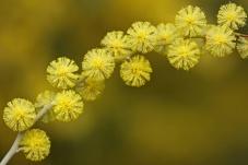 acácia-mimosa